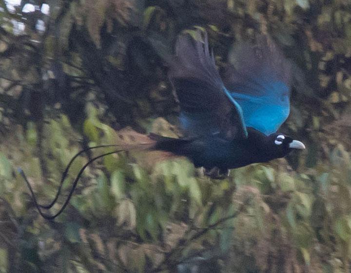 Blue Bird of Paradise (Paradisaea rudolphi) © Jun Matsui