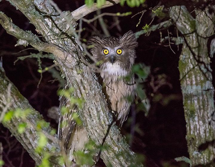 birding Blakiston's Fish Owl during trip in Hokkaido