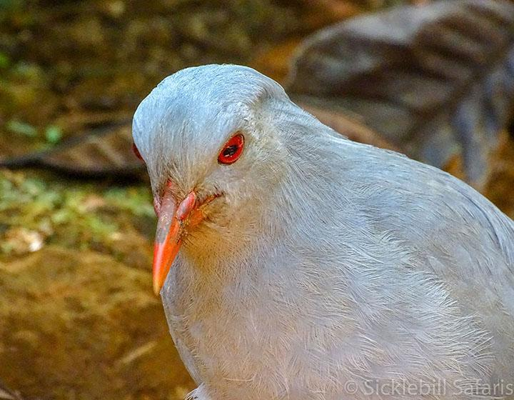 Kagu, New Caledonia © Phil Gregory