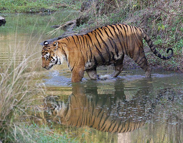 Tiger entering water on India photographic tour